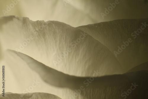Fototapeta Biała róża płatki makro obraz