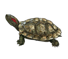 Drawing Of Red-eared Slider (T...