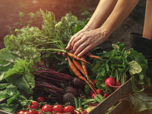 Farmer Folding Fresh Vegetables In Wooden Box On Farm At Sunset. Woman Hands Holding Freshly Bunch Harvest. Healthy Organic Food, Vegetables, Agriculture, Close Up