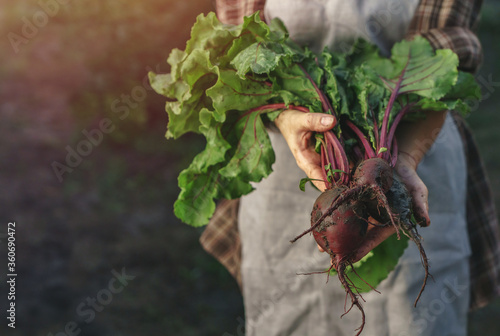 Farmers holding fresh beetroot in hands on farm at sunset Fotobehang