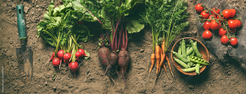 Obraz Fresh vegetables, peas, radish, tomato, carrot, beetroot on ground on farm at sunset. Freshly bunch harvest. Healthy organic food, agriculture, top view fototapeta, plakat
