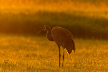 Sandhill Crane At Sunset In Th...