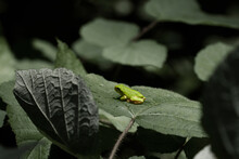 Image Of Hyla Versicolor, A Tiny Tree Frog On A Tree Leaf In Maryland. Taken With A Macro Lens At Day Time. The Frog Was Resting Quietly On The Leaf.