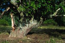 Single Slate Gnarly Apple Tree Standing On A Meadow