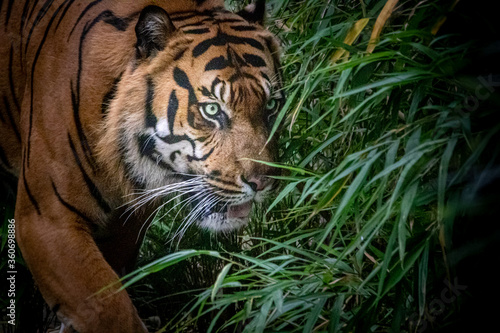 Fototapety, obrazy: A tiger walking through the jungle