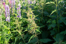 A Branch Of Blooming Nettle Is Lit By The Sun Against A Background Of Thickets Of Nettles And Lupins In The Garden.