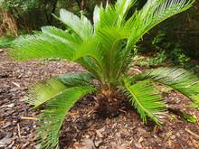 Sago Palm (Cycas Revoluta) In Ornamental Garden
