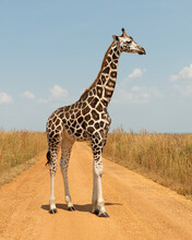 Giraffe In Profile View Standi...