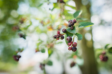Amelanchier Ovalis Tasty Ripening Fruits Berries, Serviceberries On Branches In Sunlight