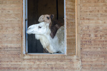 Pair Of Camels In The Zoo.