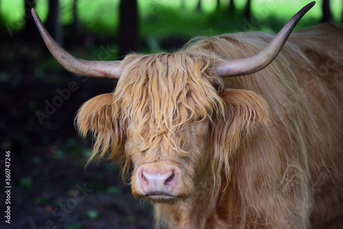 Fototapety, obrazy: A Scottish highland cattle, with horns and a lot of fur, stands in the forest and is resting