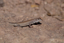 Chihuahuan Spotted Whiptail Cu...