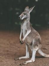 Kangaroo Standing Up