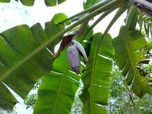 Banana Tree With Green Bananas Nature Background.