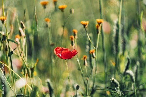 Selective focus of a wild poppy in a field covered in greenery under the sunlight - 360766004