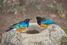 Closeup Shot Of A Thirsty Superb Starling And Baby Immature Drinking Water