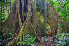 Base Of A Ceiba Tree Trunk (Ceiba Pentandra) In The Amazon Rainforest, Yasuni National Park, Ecuador. Unsharp Foreground Plants, Sharp Tree.