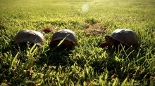 Turtles Crawling In The Grass ...