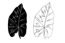 Tropical Leaf Nephthytis Or Caladium Syngonium Podophyllum.