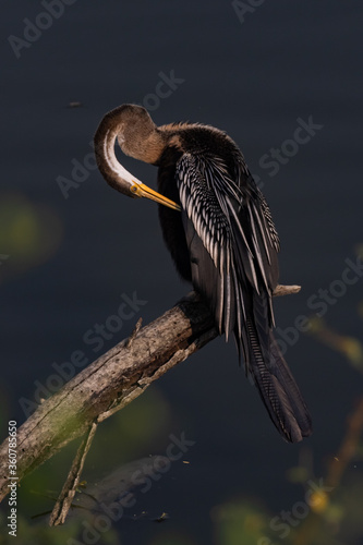 An oriental darter also called Indian darter siting in a tree branch using its b Canvas-taulu