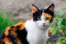 Curious Calico Cat Walking Out...