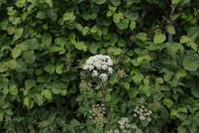 Summer Flowering Hogweed Or Co...