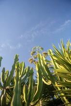 Low Angle Shot Of A Triangular Spurge Plant Against A Blue Sky