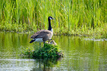 Canada Goose On Her Nest With Two Recently Hatched Chicks, A Nest Built On The Water, Soft Yellow Goslings