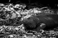 Grayscale Picture Of An Iguana...