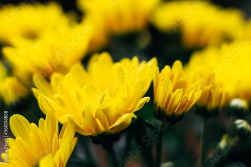 Soft focus of yellow chrysanthemum with blurry background