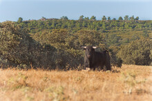 A Brave Bull Looks At Us Defia...