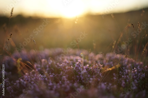 Close-up of wild thyme and yellow grass Billede på lærred