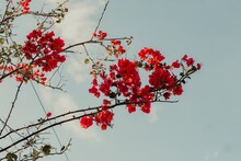 Low Angle Shot Of Red Bougainvillea Flowers With A Blue Sky In The Background