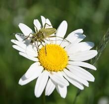 Beetle Sitting On A Camomile
