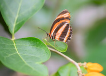 Banded Orange Butterfly (Dryadula Phaetusa) On A Leaf Of A Plant With Orange Flowers. Tropical Butterfly.