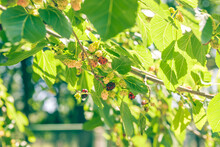 Mulberry At Various Stages Of Ripeness. Unripe (green), Ripening (pink And Red) And Ripe (black). Mulberry On The Branch. Green Leaves And Sky In The Background
