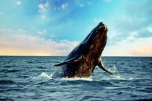 Majestic Southern Right Whale,...