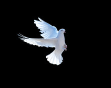 White Dove Isolated On Black. ...