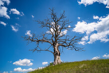 Lonely Dead Dry Tree
