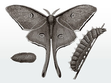 Imago, Caterpillar And Chrysalis Of The Luna Moth, Actias From North America After An Antique Illustration From The 19th Century