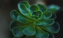Closeup Of An Echeveria Subses...