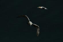 Northern Gannet Flying Over Cl...