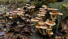 Closeup Shot Of Honey Mushroom...