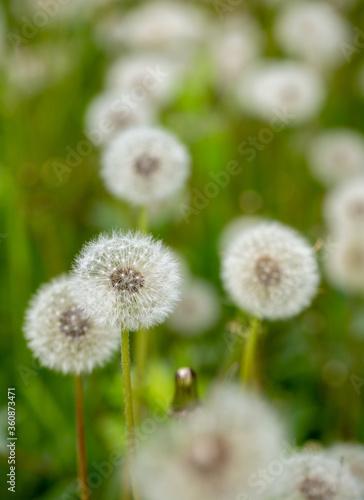 Fototapety, obrazy: white dandelions in the field