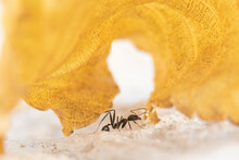 Ants On A Lonely Dry Yellow Le...