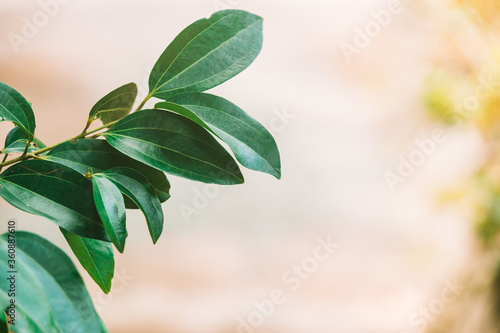 Stampa su Tela Isolated branch with leaves of cinnamon plant at Sri-Lanka.