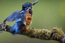 Male Kingfisher Fishing From A...
