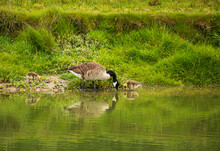 Family Of Geese On The Banks O...