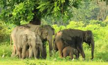 Indian (Asian) Elephant Grazing And Eating Jack Fruit