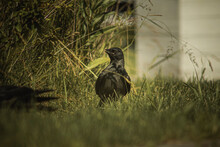 Crow On The Grass